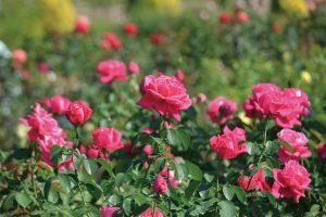【花フェスタ記念公園】秋のバラまつり @ 【花フェスタ記念公園】秋のバラまつり